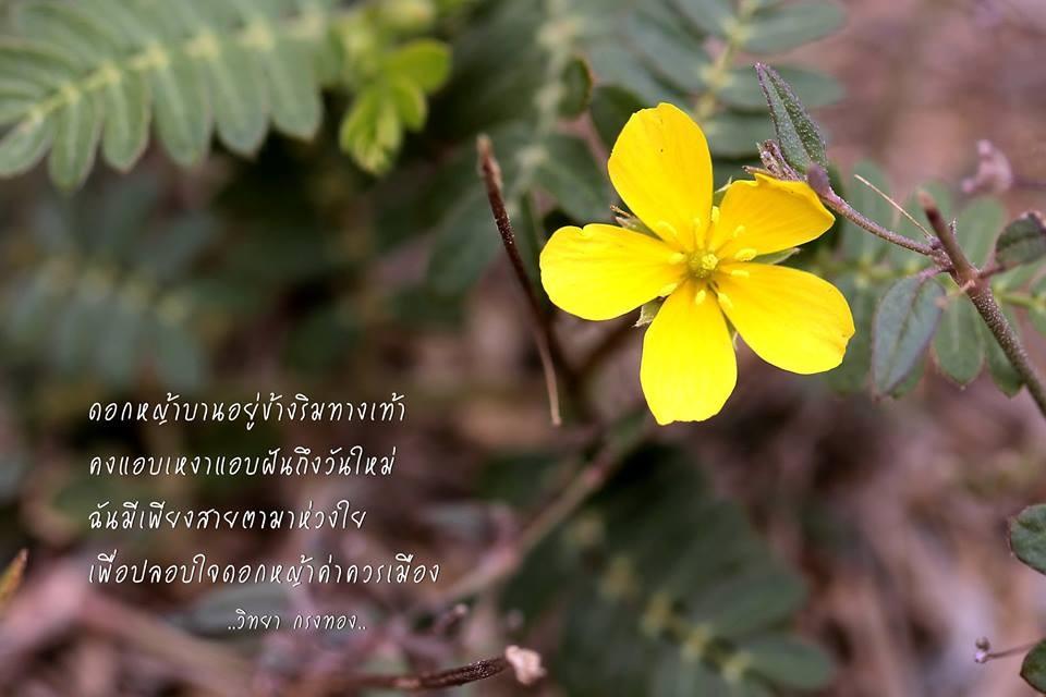 ดอกหญ้าโคกกระสุน, ดอกหญ้า, ดอกหญ้าสีเหลือง, ดอกไม้, ดอกไม้สีเหลือง, แอบเหงา, ริมทาง, ริมทางเท้า, วันใหม่
